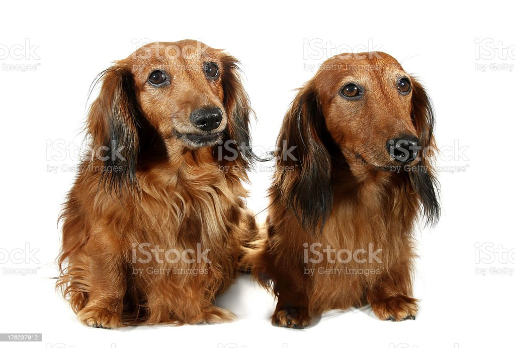 Pair dog long-haired dachshund pet stock photo