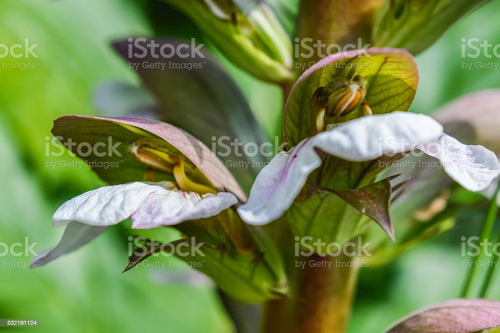 pair of Acanthus flowering buds stock photo