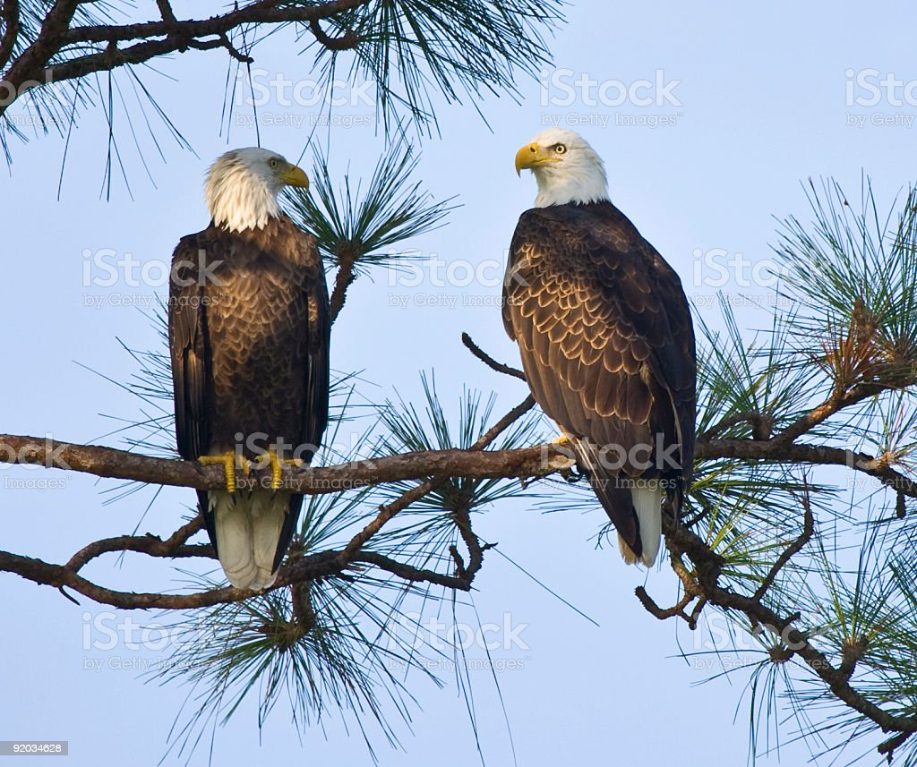 Pair of American Bald Eagles in a tree. stock photo