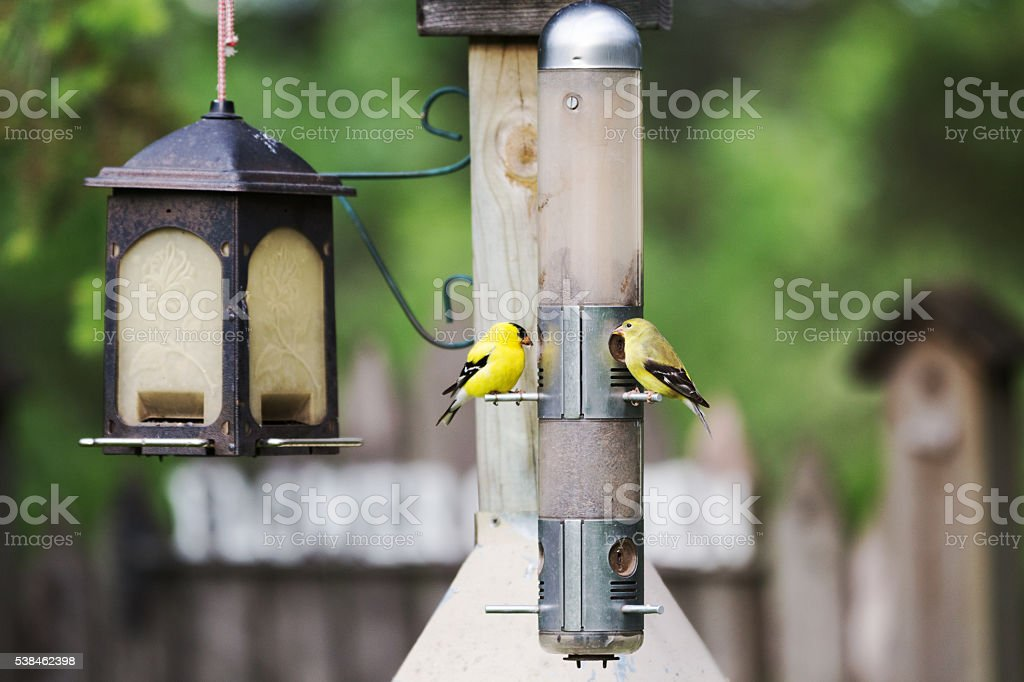 Pair of American Goldfinch Eating out of a Thistle Feeder stock photo