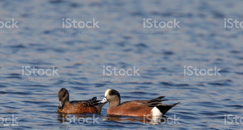 Pair of American Widgeon Ducks in Cape May New Jersey stock photo