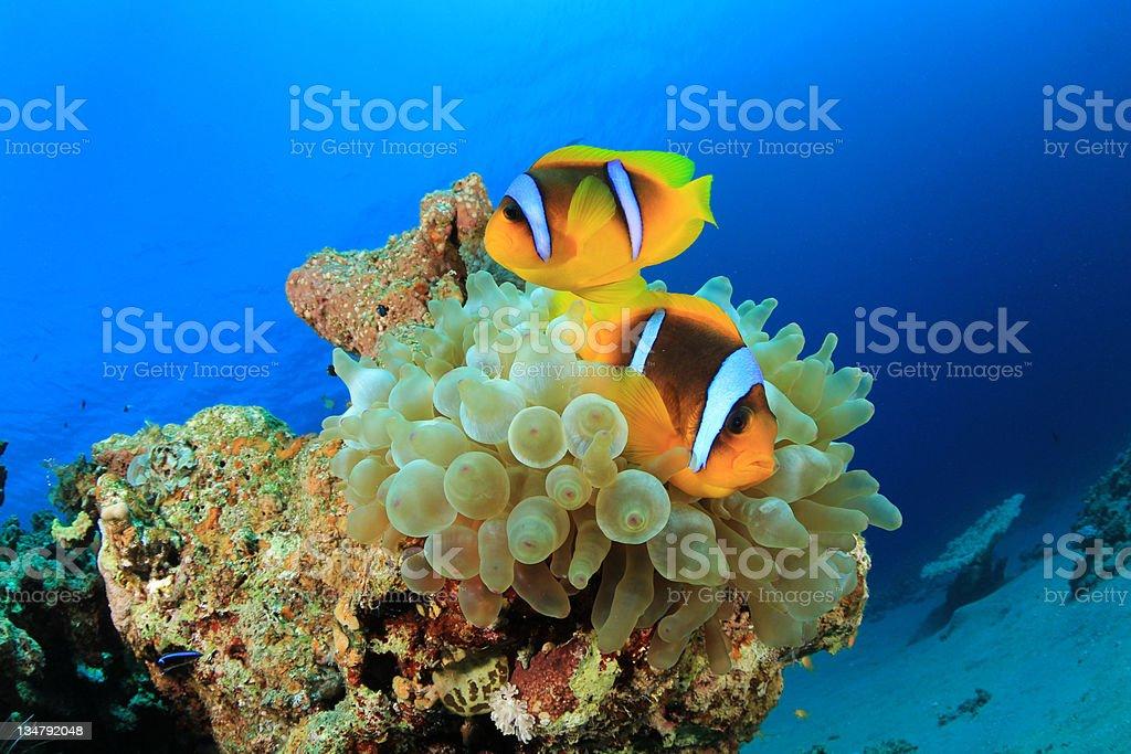 Pair of Anemonefish stock photo