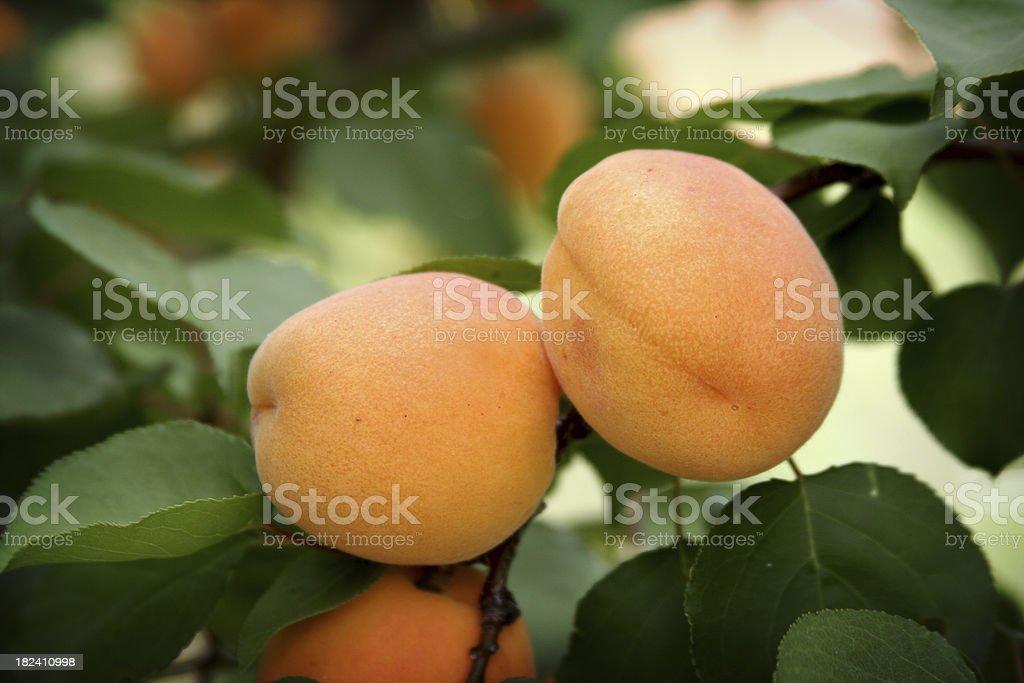 Pair of Aprricots stock photo
