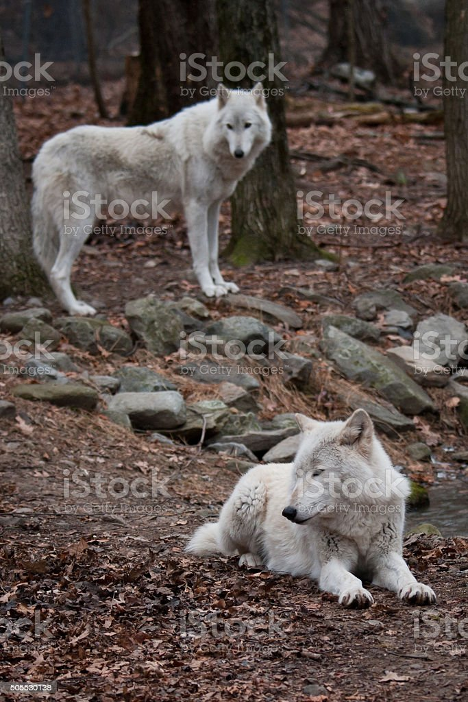 Pair of Arctic Wolves stock photo