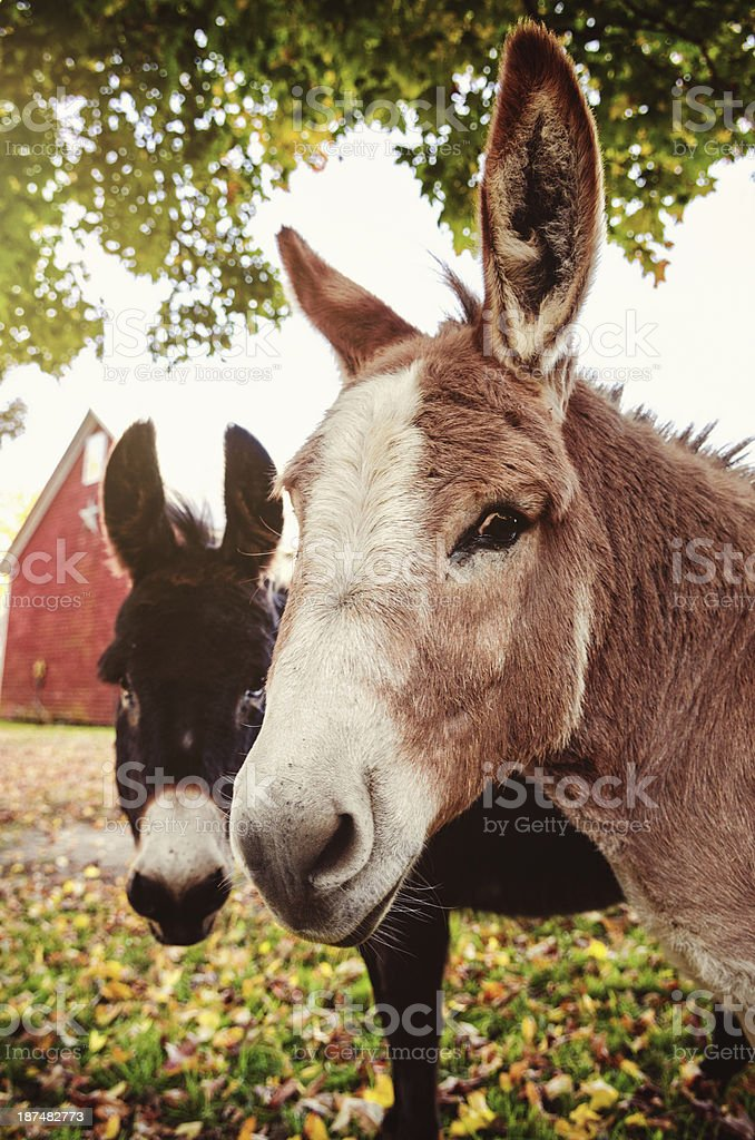Pair of Asses royalty-free stock photo