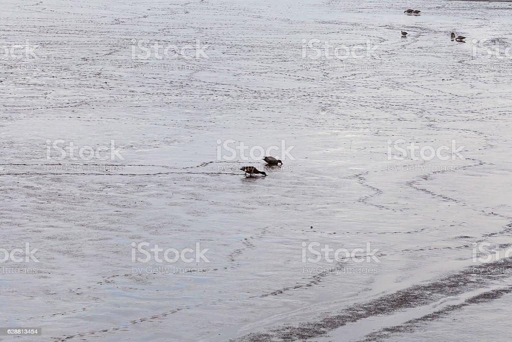 Pair of Australian shoveler ducks foraging in Tamar river stock photo