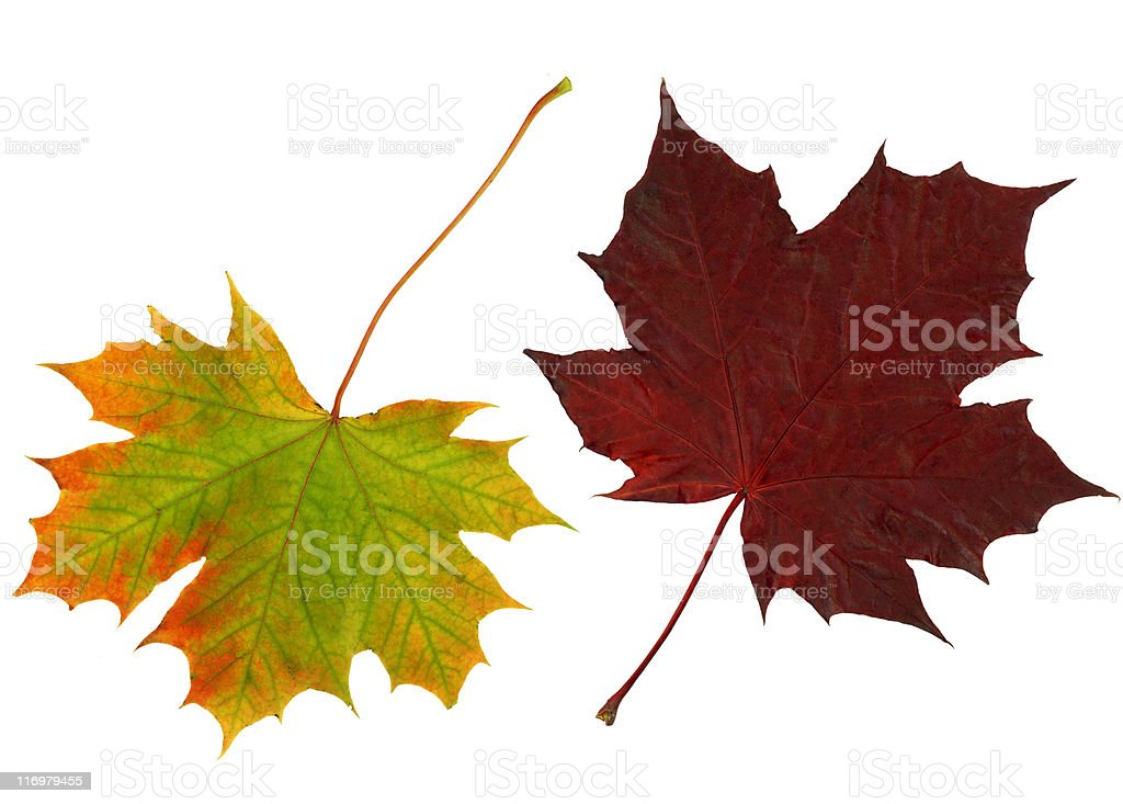 Pair of autumn leaves royalty-free stock photo