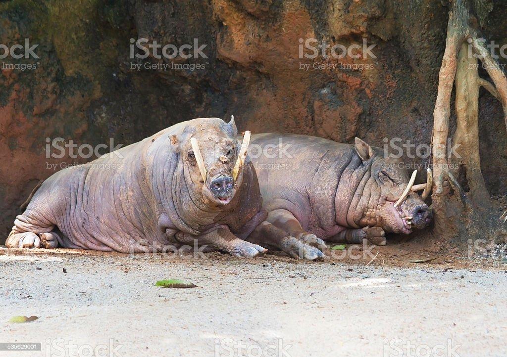Pair of babirussa stock photo