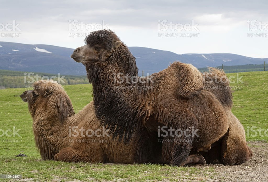 Pair of Bactrian camels, one kneeling royalty-free stock photo
