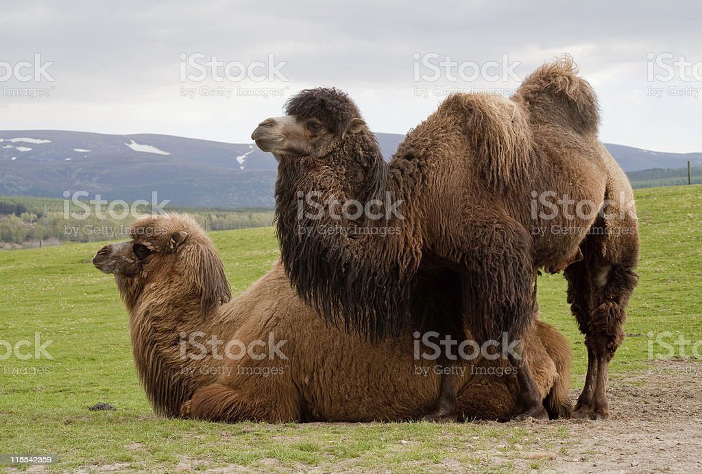 Pair of Bactrian camels stock photo