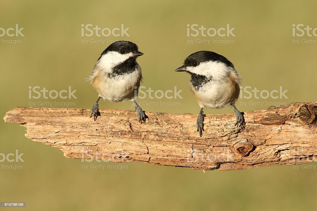 Pair of Birds on a Branch stock photo