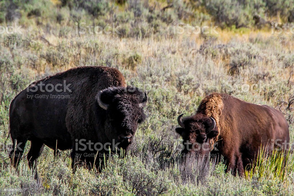 pair of bison stock photo