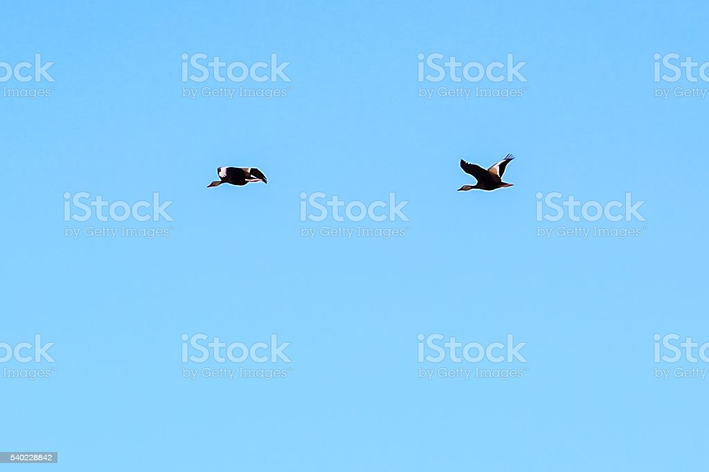 Pair of black breasted geese flying North stock photo