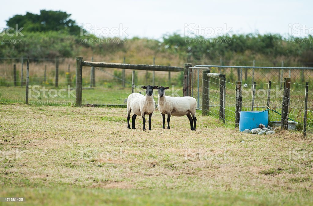 Pair of Black face sheep   looking to camera stock photo