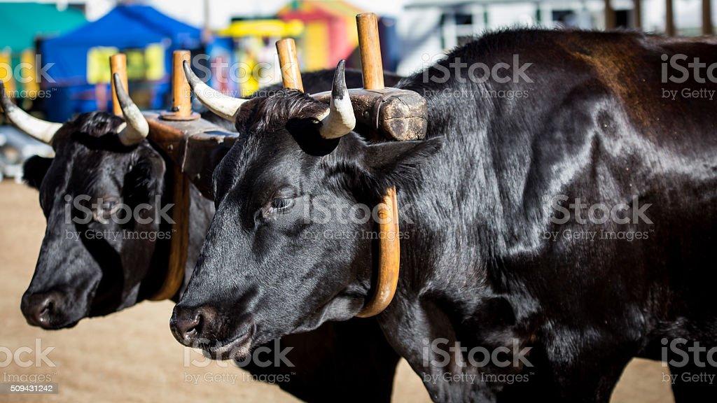 pair of black horned bull stock photo