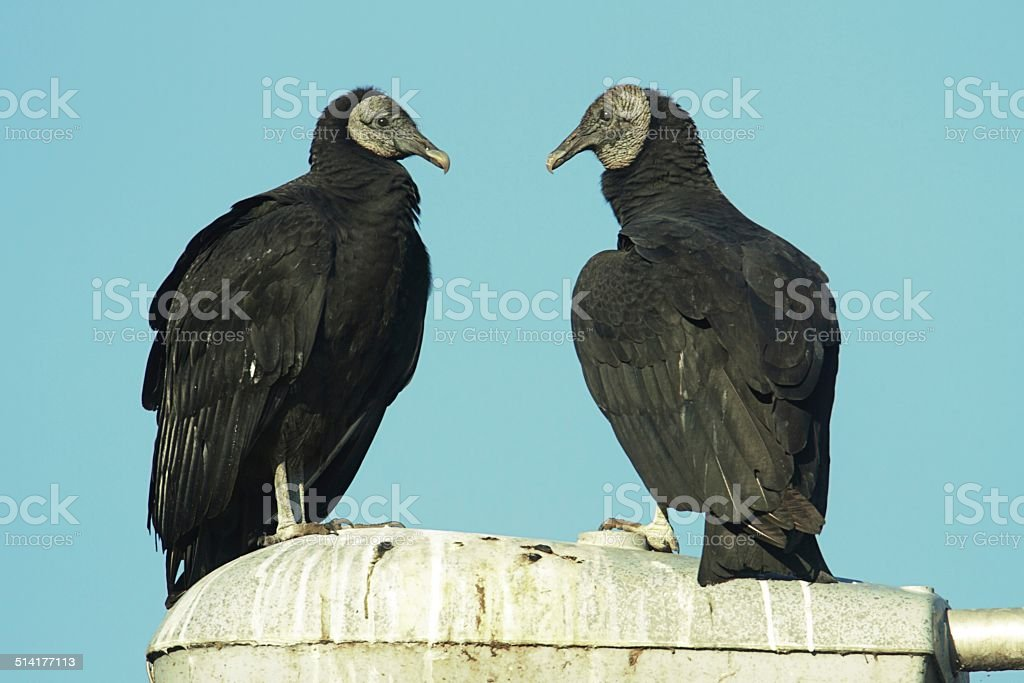Pair of Black Vultures stock photo