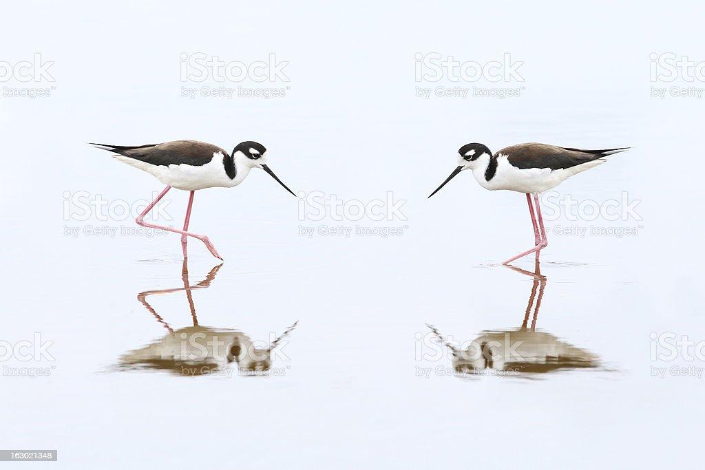 Pair of Black-necked Stilts - Everglades National Park royalty-free stock photo