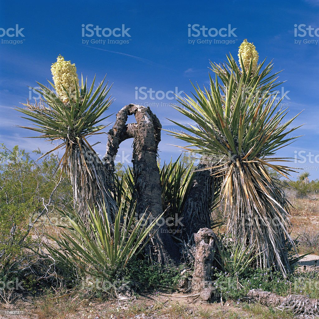 Pair of Blooming Yucca, Springtime, California royalty-free stock photo