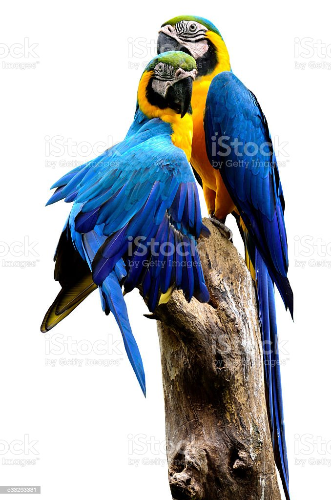 Pair of Blue and Gold Macaw birds stick together stock photo