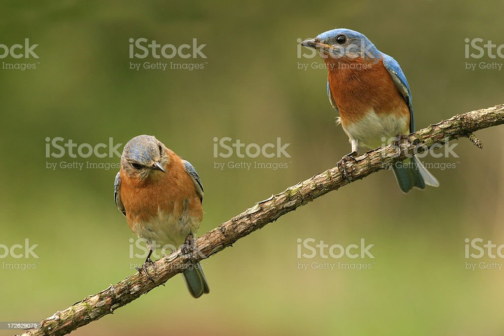 Pair of Blue Birds royalty-free stock photo