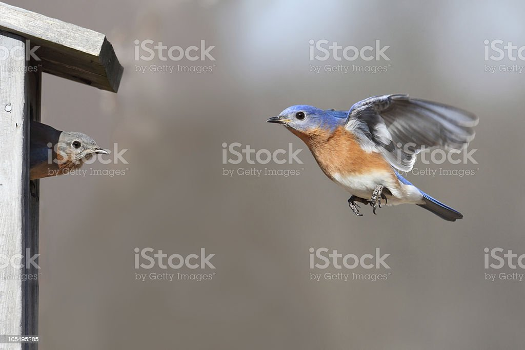 Pair Of Bluebirds royalty-free stock photo