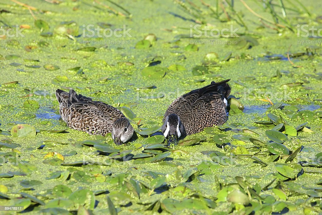Pair of Blue-winged Teal (anas discors) royalty-free stock photo