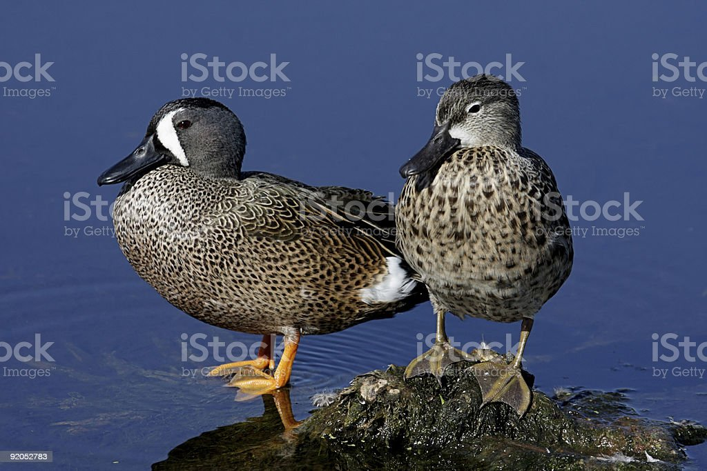 Pair of Blue-winged Teal royalty-free stock photo