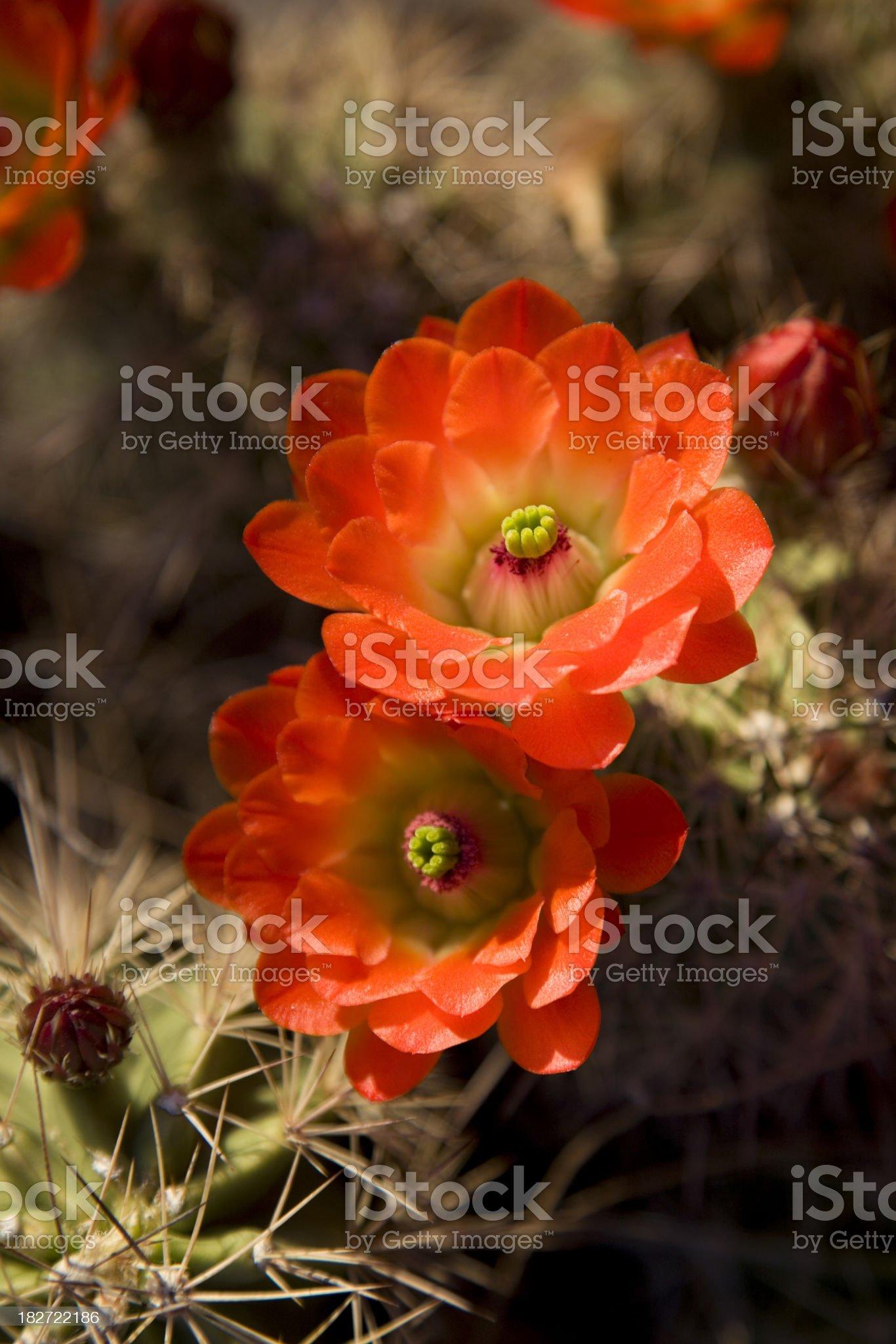 Pair of Bright Orange Cactus Flowers royalty-free stock photo
