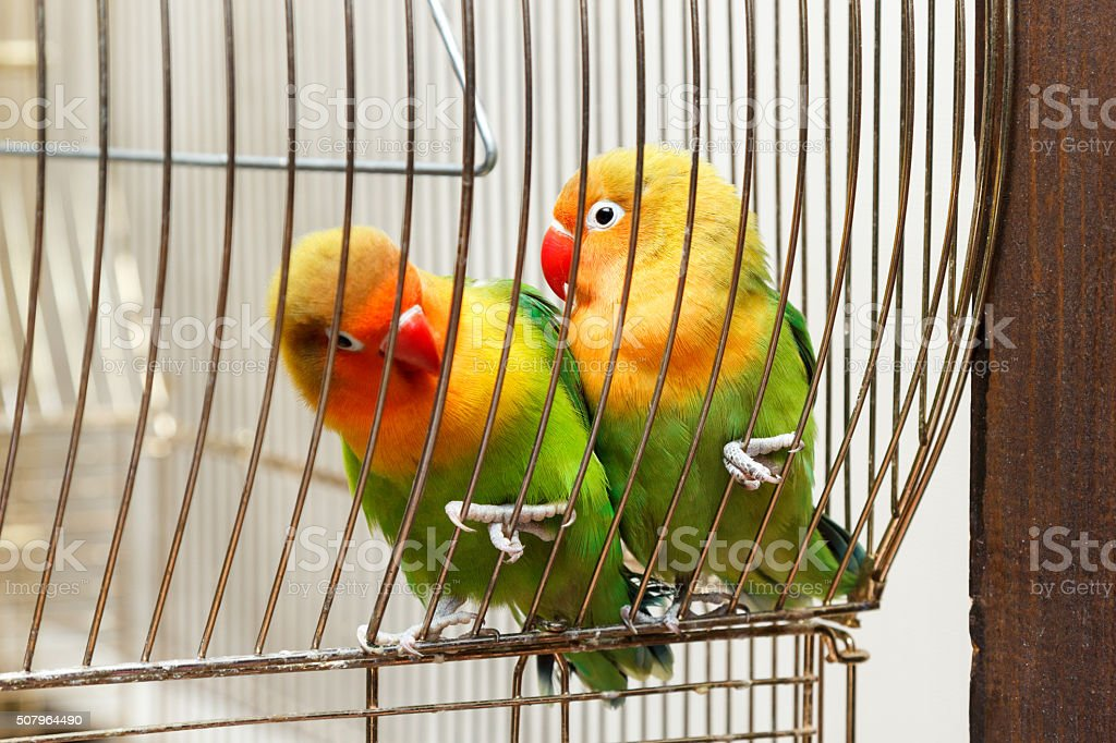 pair of budgies cling to bars stock photo