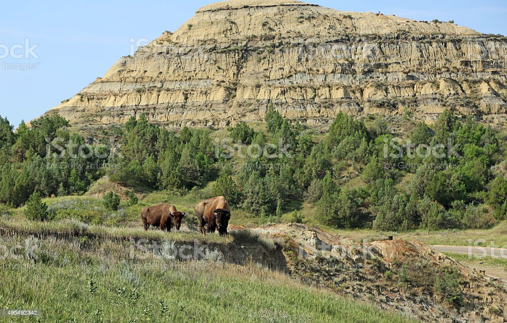Pair of buffalo stock photo