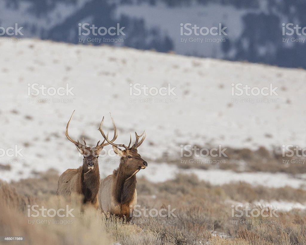 Pair of bull elk in winter stock photo