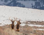 Pair of bull elk in winter