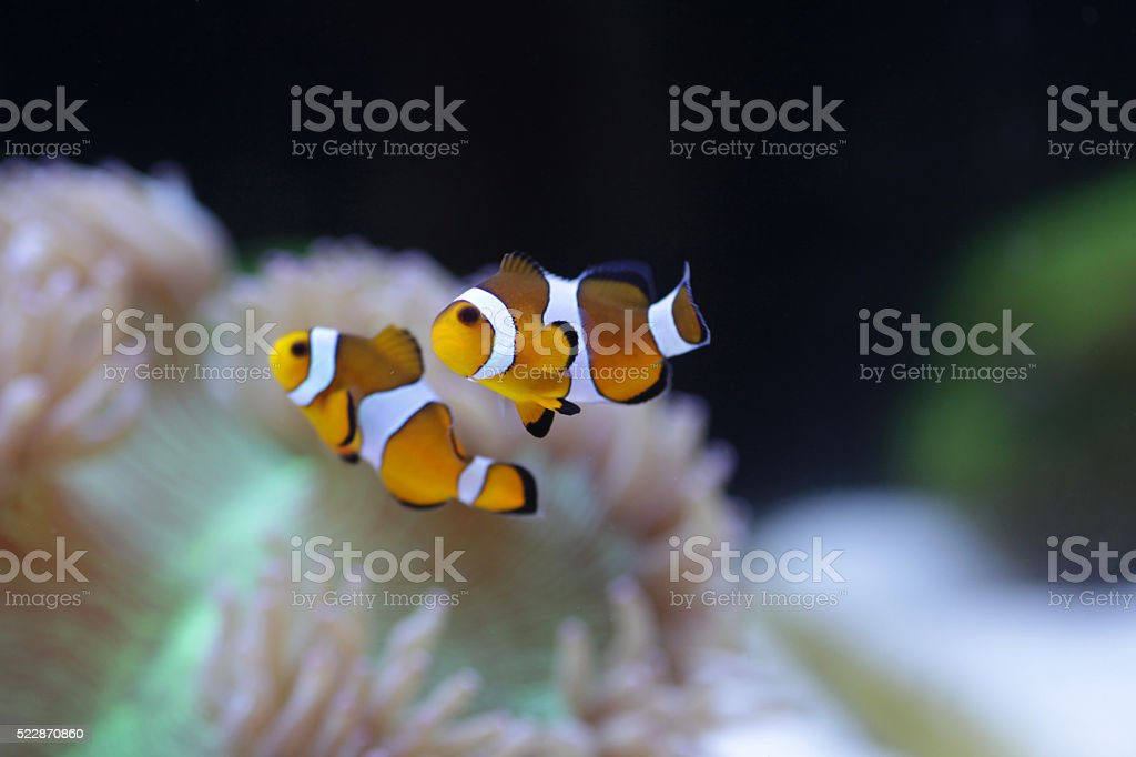 Pair of Clownfish stock photo