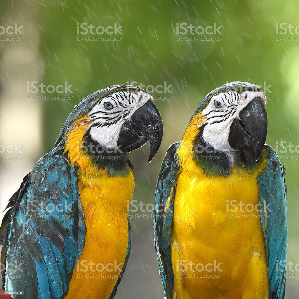 Paire de perroquets colorés aras photo libre de droits