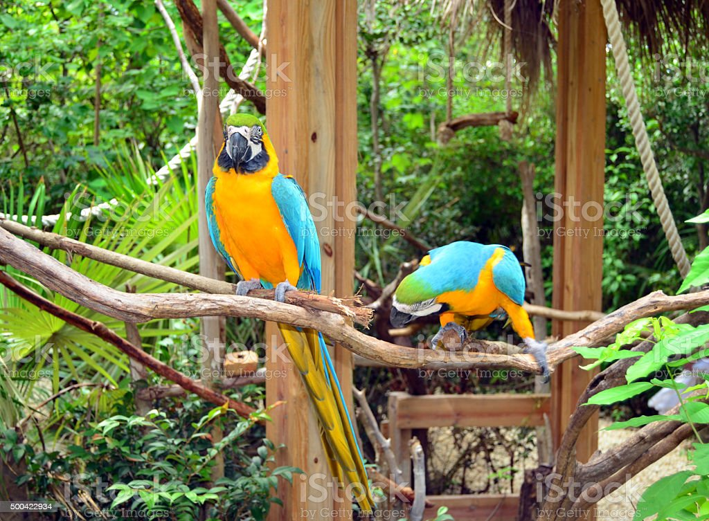Pair of colorful Parrots. Jamaica stock photo