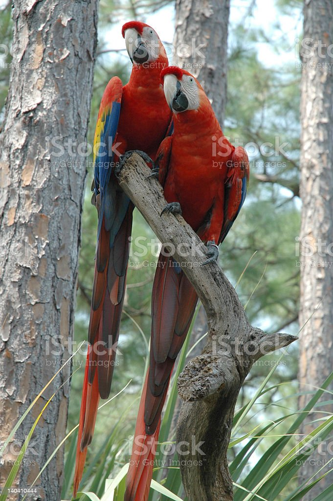 Pair of colorful tropical macaws stock photo