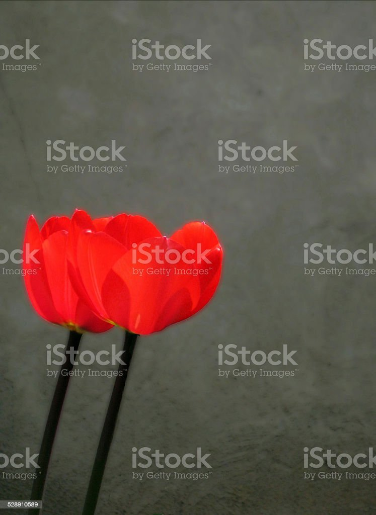 Pair of Colour-Popped Poppies stock photo