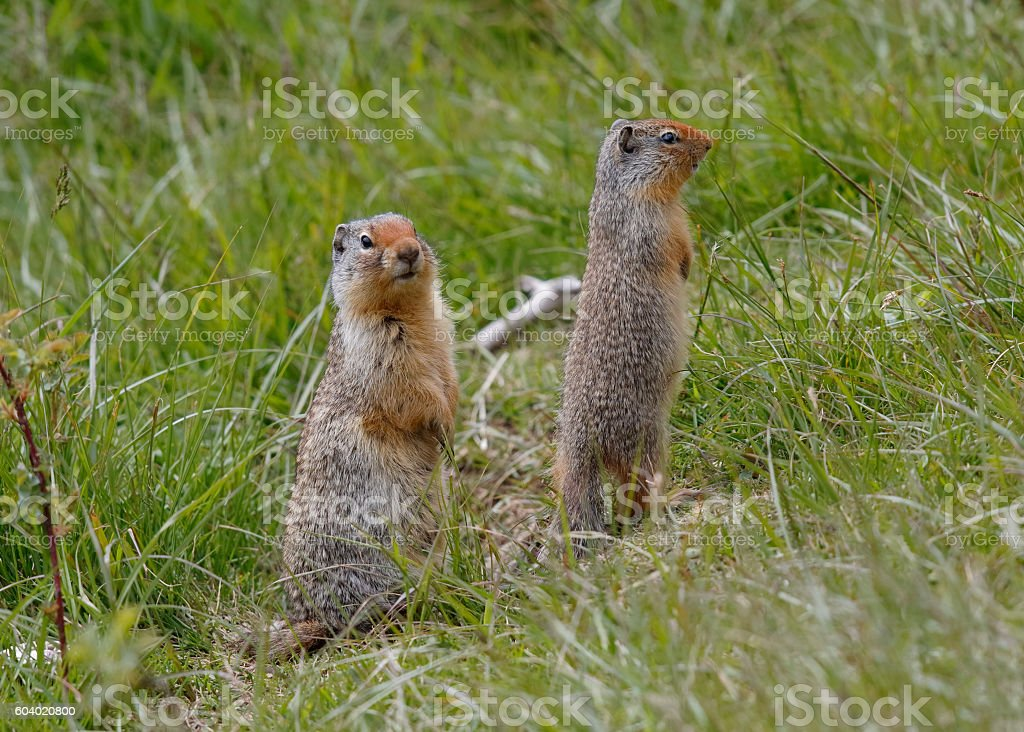 Pair of Columbian Ground Squirrels - Banff National Park, Canada stock photo