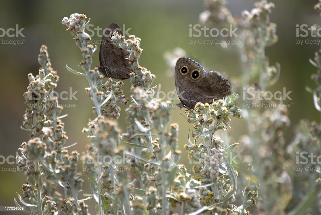 Pair of Common Wood Nymph Butterflies stock photo