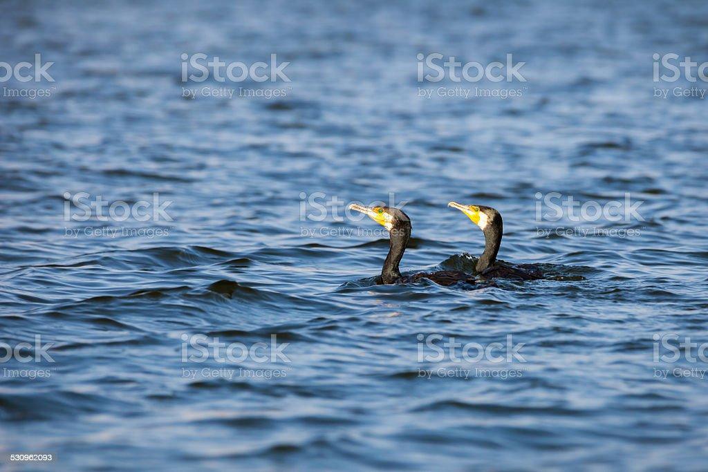 Pair of cormorants stock photo