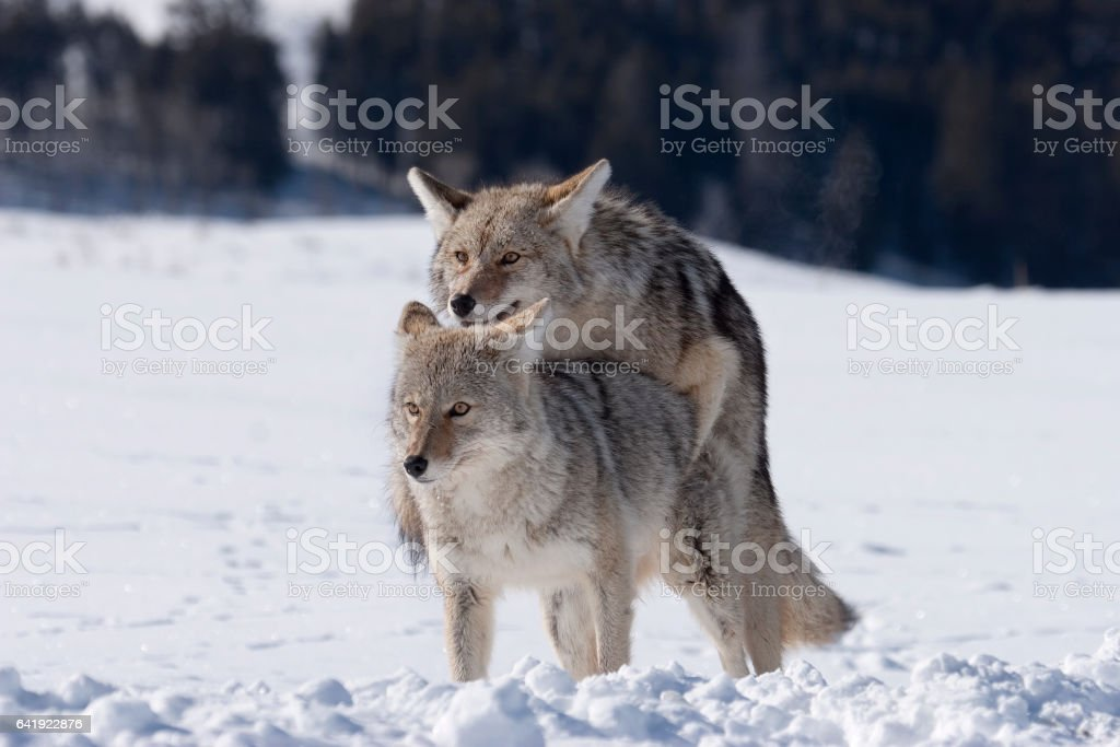 Pair of coyotes mating in snowy Lamar Valley Yellowstone National Park Wyoming stock photo
