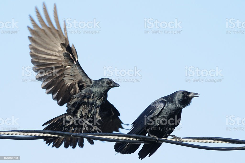 Pair of crows (Corvus ossifragus) on a wire stock photo