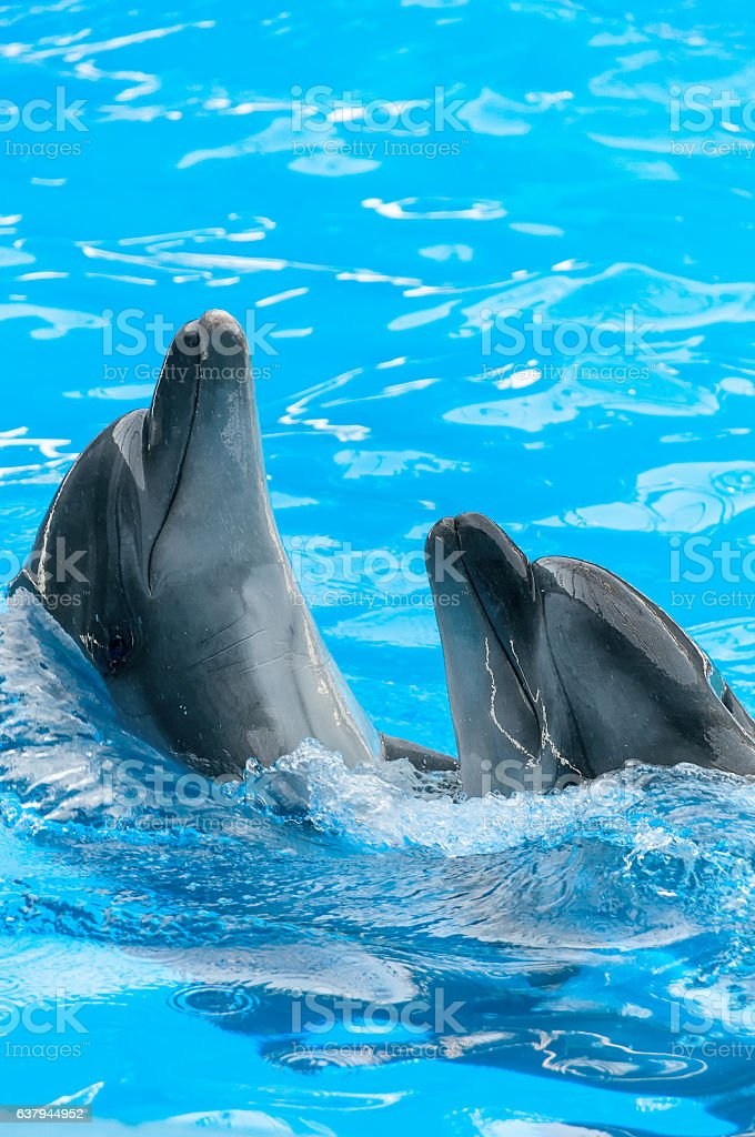 Pair of dolphins dancing in light-blue water stock photo