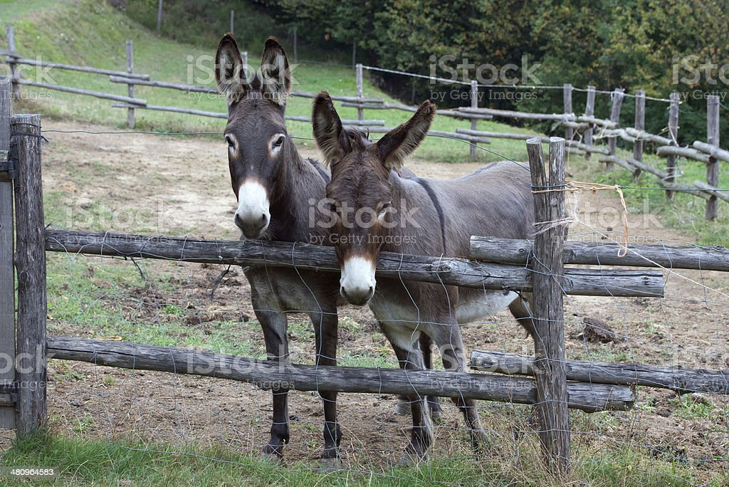 pair of donkeys royalty-free stock photo