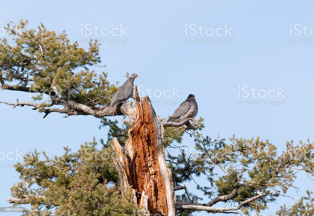 Pair of Doves in Pike National Forest stock photo