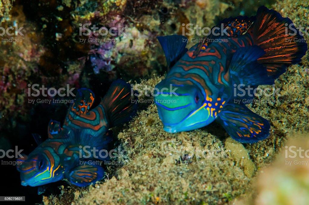 Pair of dragonet mandarinfish in Banda, Indonesia underwater photo stock photo