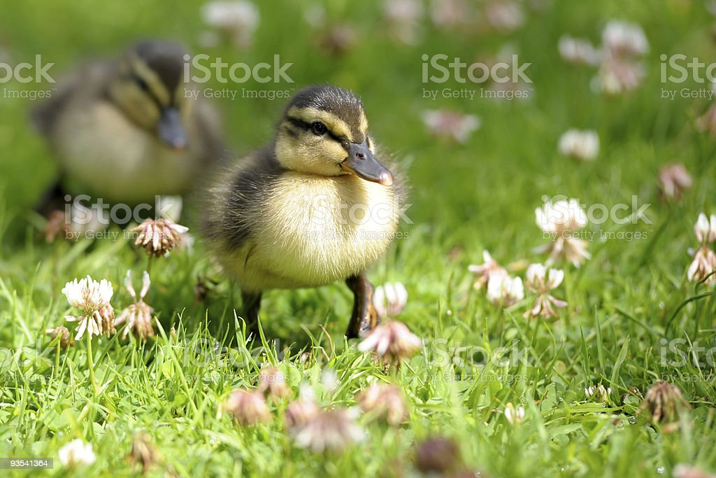Pair of Ducklings royalty-free stock photo