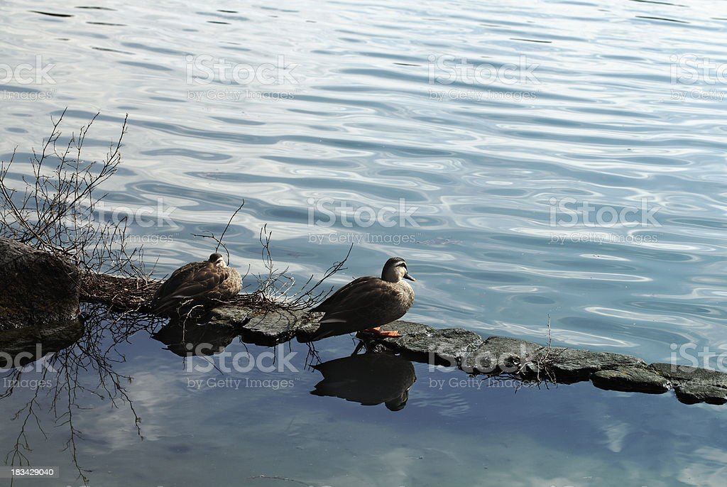 Pair of ducks royalty-free stock photo