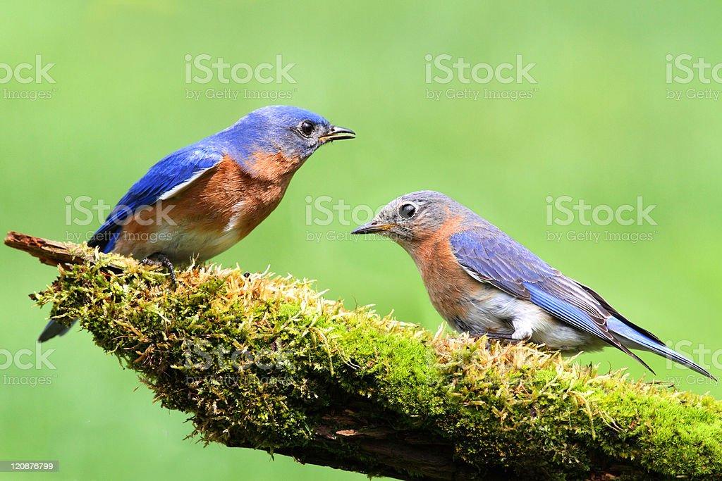 Pair of Eastern Bluebird royalty-free stock photo