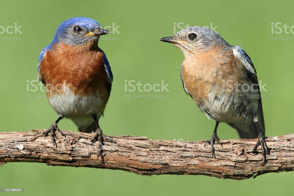 Pair of Eastern Bluebird stock photo